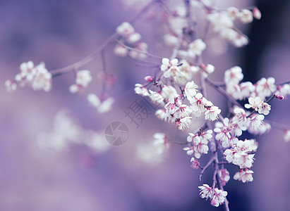 梨花在紫色背景图片