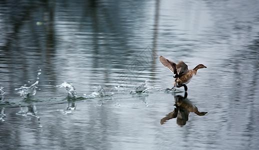 凌波微步的鸭子图片