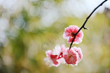 红色梅花图片