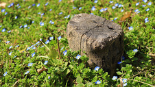 春日草地上的蓝色小野花图片