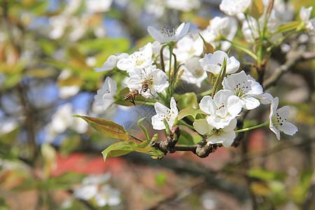 三月梨花开图片