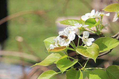 梨花与蜜蜂图片