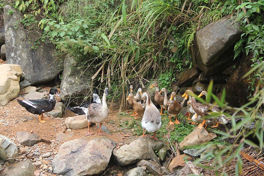 溪边的鸭子图片