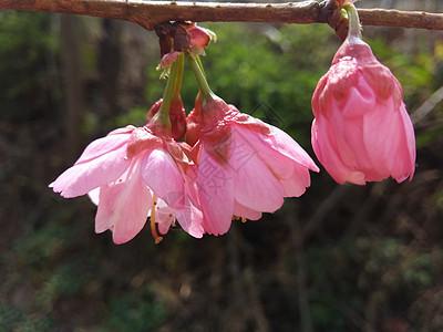 樱花开放图片
