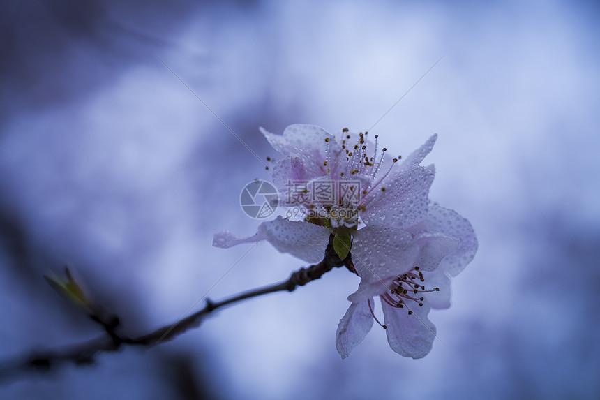 三月梅花图片