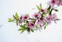 春暖花开粉红色桃花图片