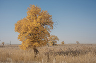 新疆塔克拉玛干大漠沙漠胡杨金秋黄叶芦苇图片
