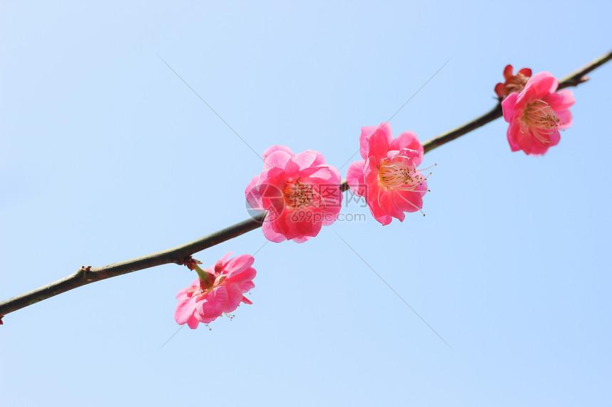 春意浓之梅花怒放图片