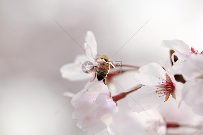 樱花怒放图片