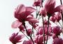 春天绽开的木兰花图片