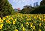春天的向日葵图片