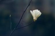 春天里的白玉兰图片