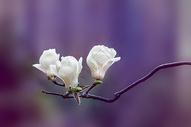 紫色梦幻白玉兰图片