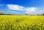 蓝色天空  油菜花图片