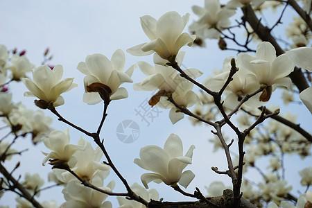 春天公园玉兰花怒放图片