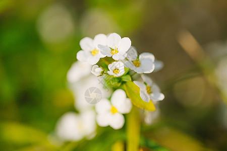 绣线菊图片