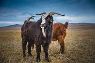 草原上的羊图片