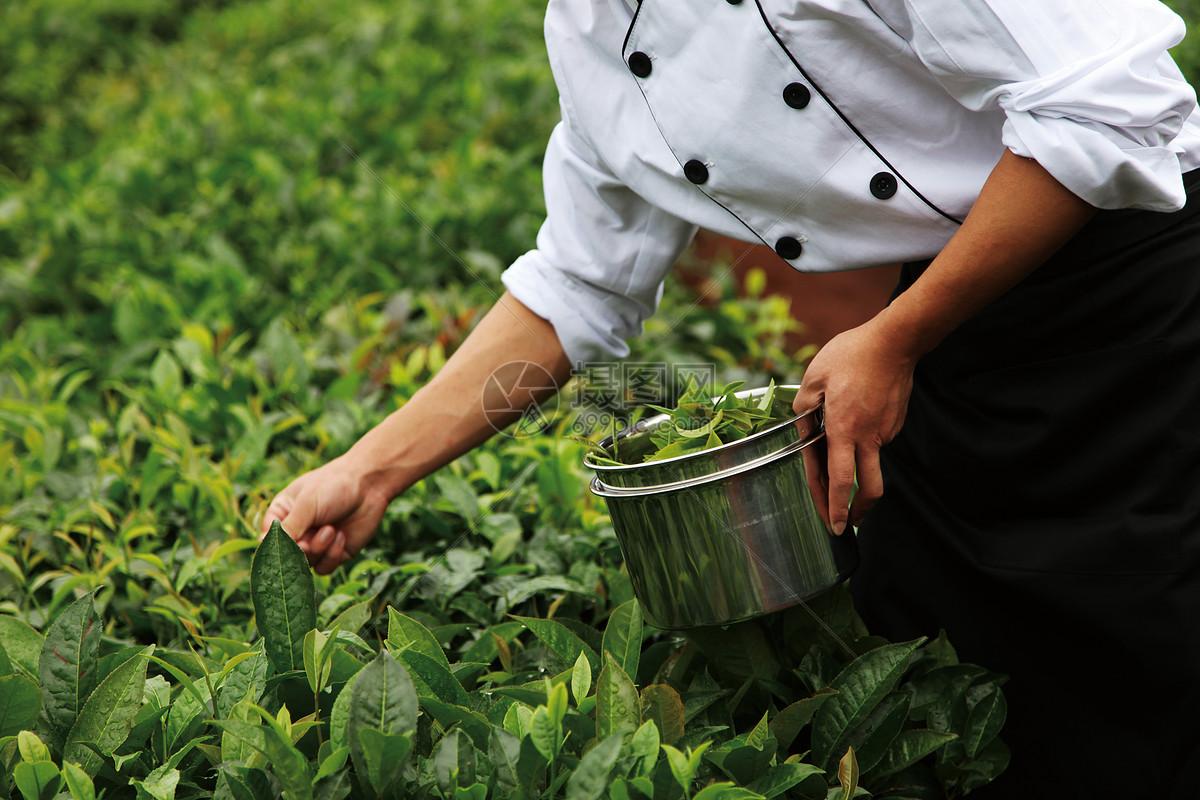 安吉白茶珍稀价格