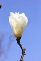 春天里的白玉兰花图片