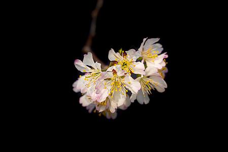 春天盛开的樱桃花图片