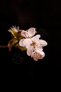 花卉紫叶李图片
