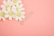 粉色背景下的花图片