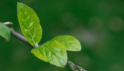 生长的绿芽图片