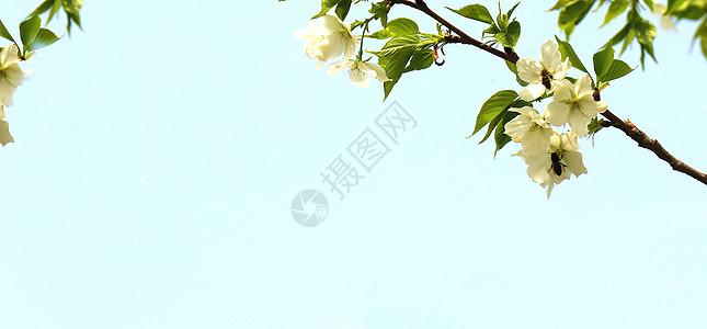 白色梨花与叶子背景素材图片