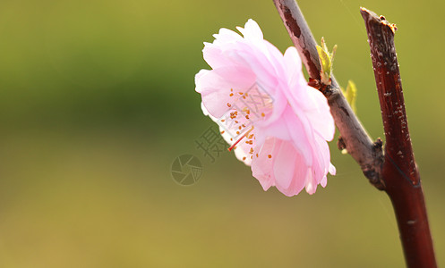 粉色樱花图片