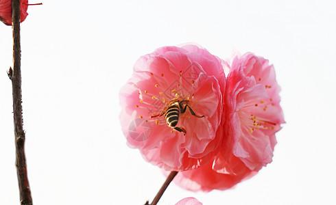樱花上的蜜蜂图片