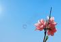 蓝天阳光照耀下的粉色桃花图片