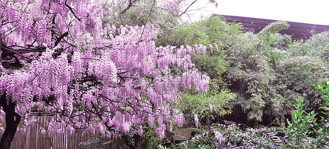 紫藤萝高清图片