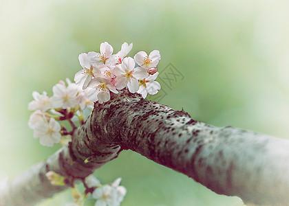 画意浪漫樱花图片