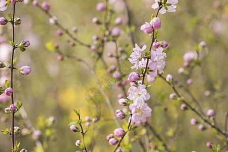 榆叶梅图片