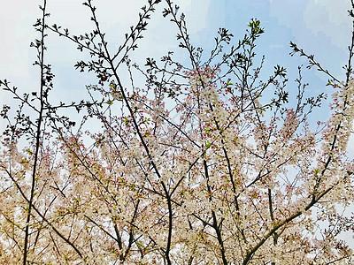 春季樱花植物花卉图片