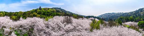 云瀑般的的樱花林图片