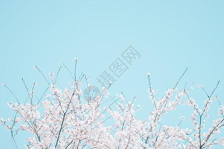 简约唯美春天樱花图片