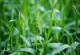 绿色未成熟的小麦图片