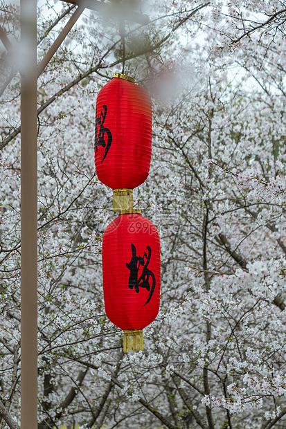 樱花下的红灯笼图片