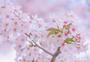 樱花的味道图片