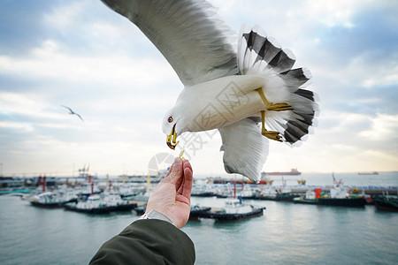 大海海鸥喂食图片