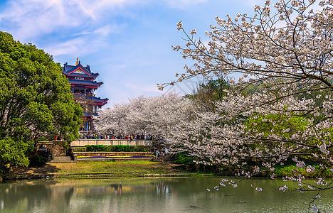 无锡鼋头渚樱花谷美景图片