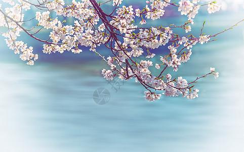 浪漫樱花季图片