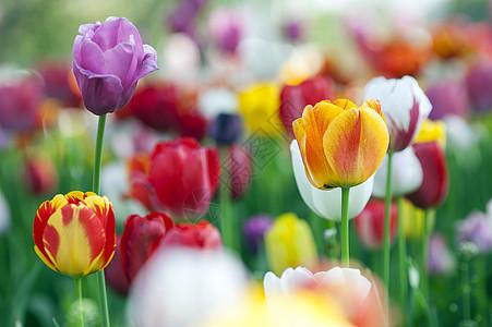 荷兰国花郁金香图片