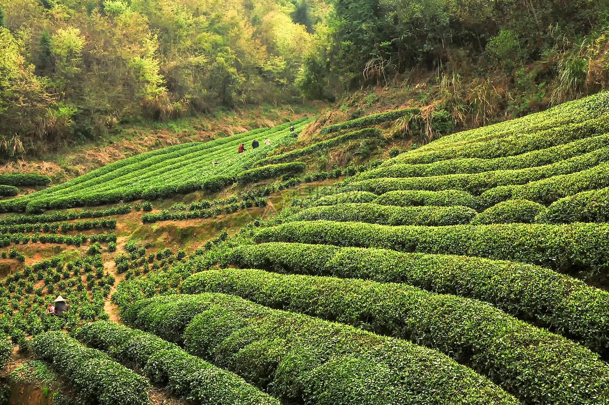 安吉白茶哪里产的最好