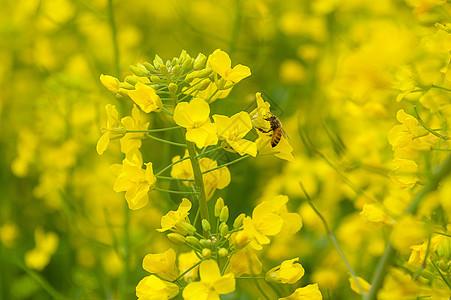 油菜花海里采蜜的蜜蜂图片
