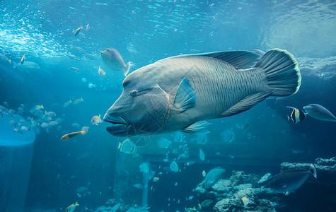 波纹唇鱼图片
