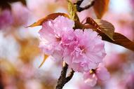 樱花500864971图片