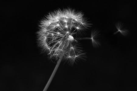 黑白蒲公英图片