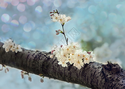 春天里的梦幻樱花图片
